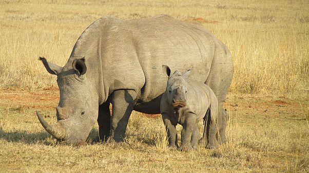 Raw Politics: Orban adopts a baby rhino