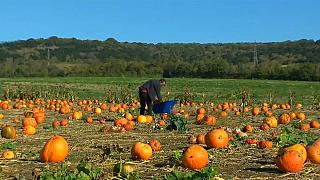 Un agricultor británico da calabazas a Halloween
