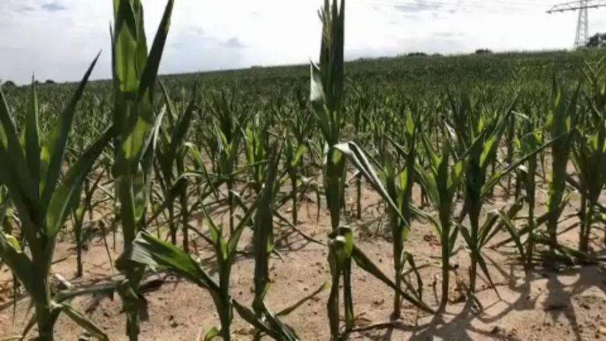 La falta de lluvias afecta a cultivos y ganadería en Alemania