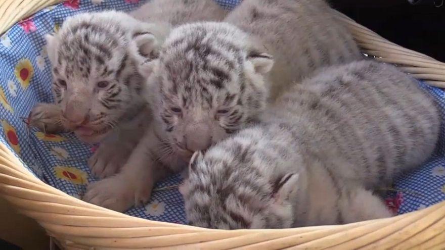 Watch: Three rare white tigers born in Crimea