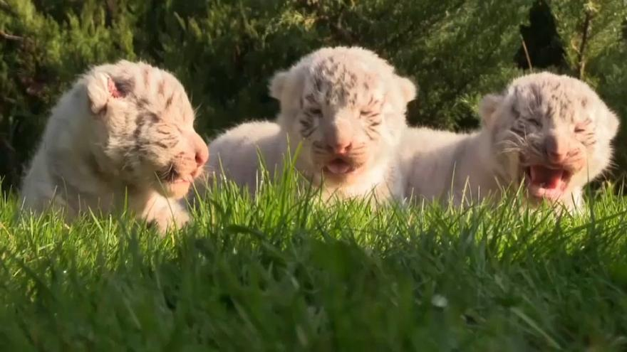 Krim: Drei weiße Königstiger geboren