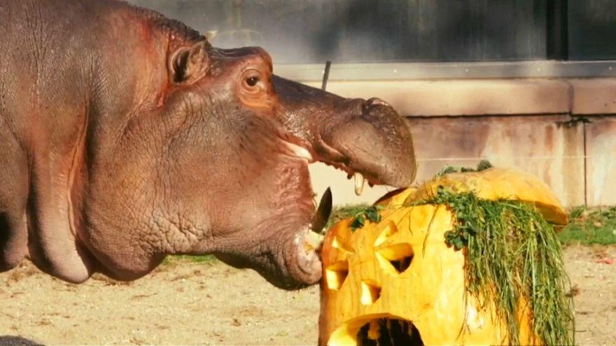 Watch: Animals at Antwerp Zoo enjoy pumpkin treats