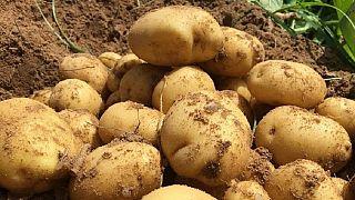 Κύπρος - Ελλάδα: Οι «μαϊμού» κυπριακές πατάτες στο επίκεντρο