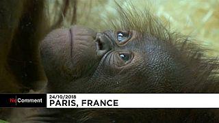 Willkommen Java: Borneo-Orang-Utan-Baby in Paris geboren