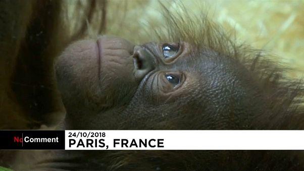 """شاهد: حديقة حيوان باريس تحتفل بمولد صغيرة انسان الغاب """"جافا"""""""