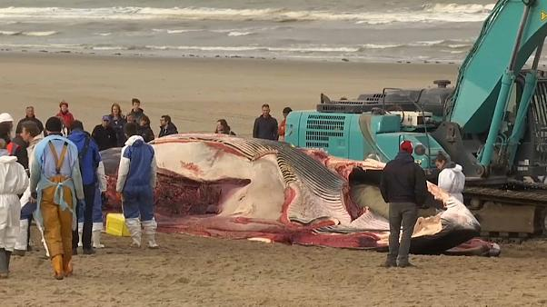 شاهد: تقطيع ورفع حوت زعنفي ضخم نفق بشاطئ في بلجيكا