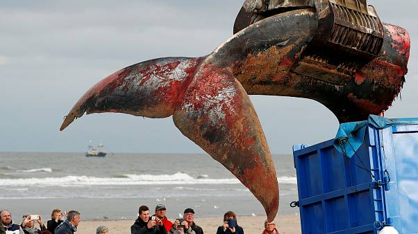35 Tonnen schwerer Finnwal in Belgien gestrandet