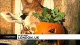 Halloween a londoni állatkertben
