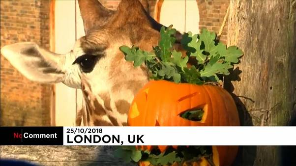 Abóboras no Zoo de Londres para celebrar o Halloween