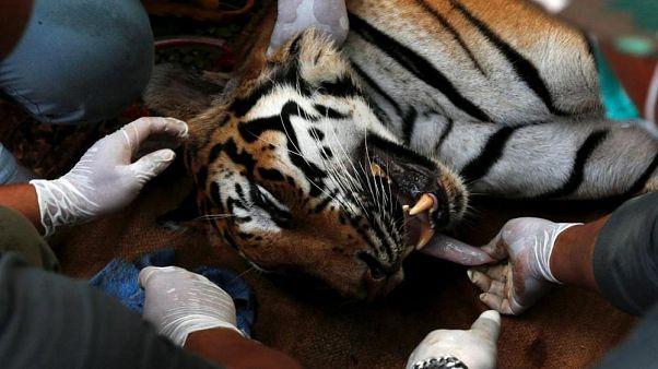 Nesli tükenme tehlikesinde: Sadece 6 türü kaplan kaldı