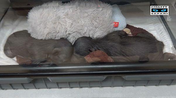 Dos osos perezosos, muchos cuidadores, un objetivo