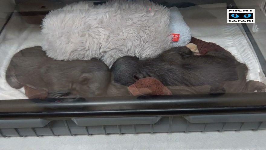Türü tehlike altında olan ayı yavruları, annelerinden oyuncakla korunuyor