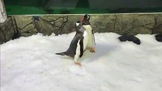 Δύο μπαμπάδες πιγκουίνοι με ένα μωρό