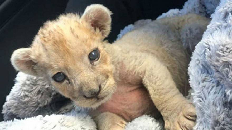 Lion cub discovered in French garage