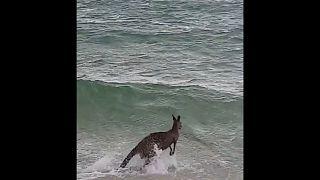 Watch : Police save drowning kangaroo in Rosebud, Victoria