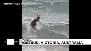 Kengurut mentettek a tengerből