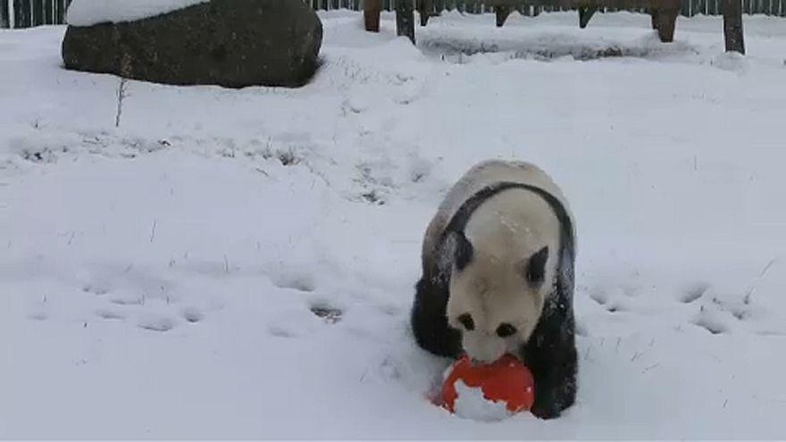 Pandas schlagen Purzelbäume im Schnee