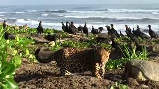 Un jaguar en una playa de Costa Rica