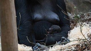 Un bébé gorille né sous les yeux du public