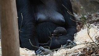 Nasceu um gorila no zoo de Beauval