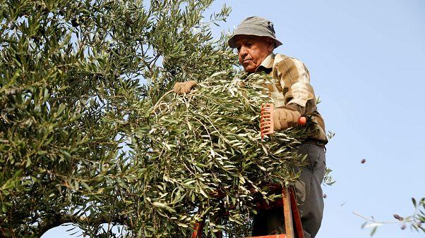 Brüksel ile Londra'nın ayrılık müzakereleri Kıbrıslı çiftçileri endişelendiriyor