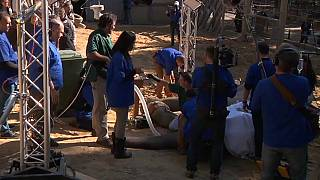 A mammoth operation to remove infected tusk