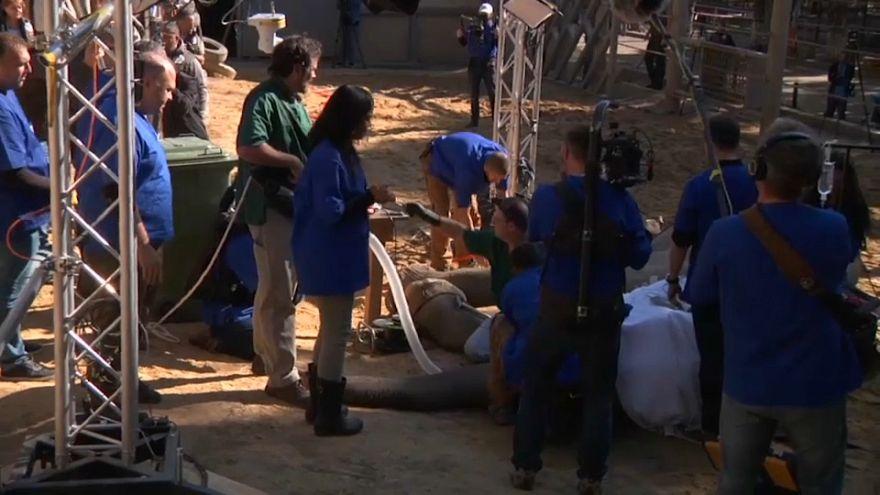 شاهد: عملية جراحية لاستئصال ناب فيل