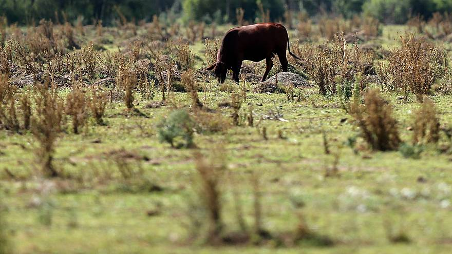 Kaza yaptı, 6 gün yaşam mücadelesi verdi, kaçan inek sayesinde bulundu