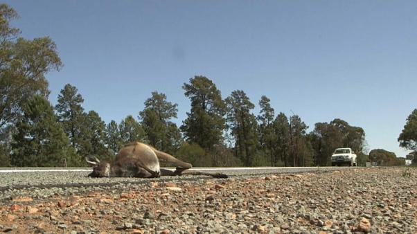 Australien: Dürre treibt Kängurus in den Tod