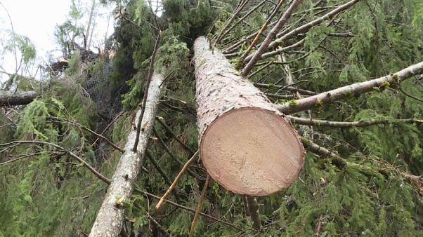 Maltempo: distrutta la foresta degli Stradivari