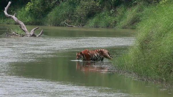 شاهد: نيبال تنجح في مضاعفة عدد النمور التي كادت أن تنقرض