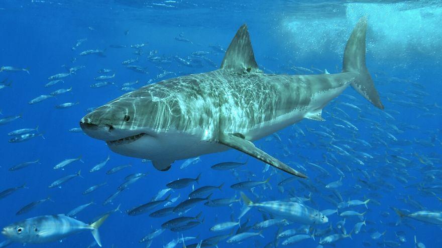 Köpek balığının saldırdığı bir kişi, sörf tahtasıyla balığa vurarak hayatta kaldı