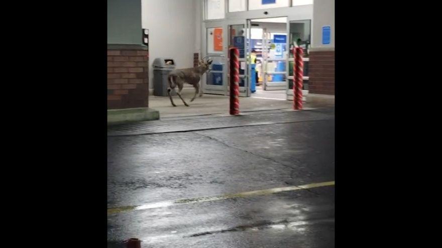Un ciervo se cuela en un Walmart de Pensilvania