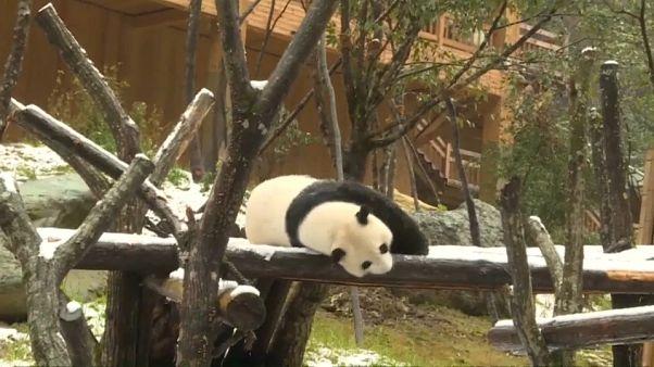 البندا العملاقة والقرود الذهبية في الصين تمرح وسط الثلوج