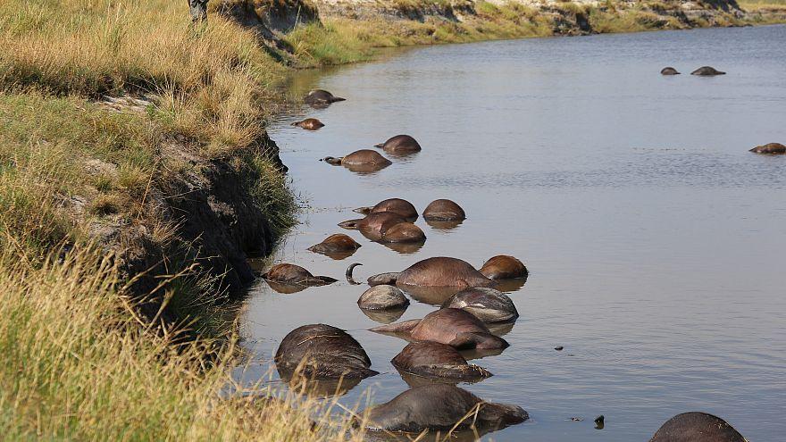 Botswana: 400 Büffel im Fluss Chobe ertrunken