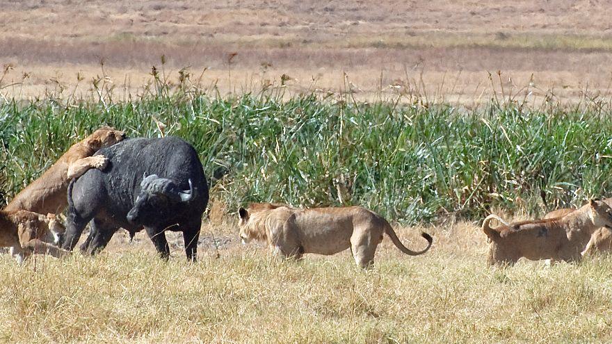 Aslandan kaçarak nehirde boğulan yüzlerce bufalo insanlara yem oldu
