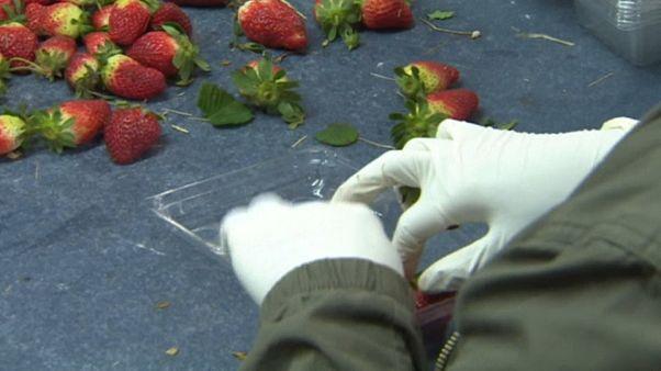 Avustralya'da çileklere iğne yerleştiren zanlıya yedi ayrı suçlama