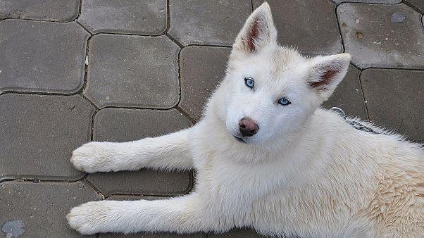 شاهد: كلب وفي يتجول يومياً في الشارع الذي شهد مقتل صاحبته قبل 3 أشهر