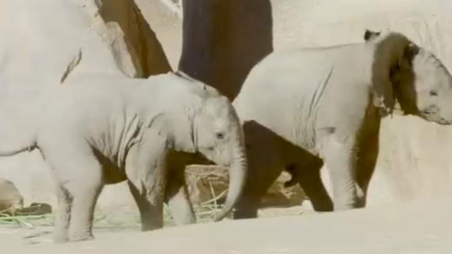 Baby elephants become playmates