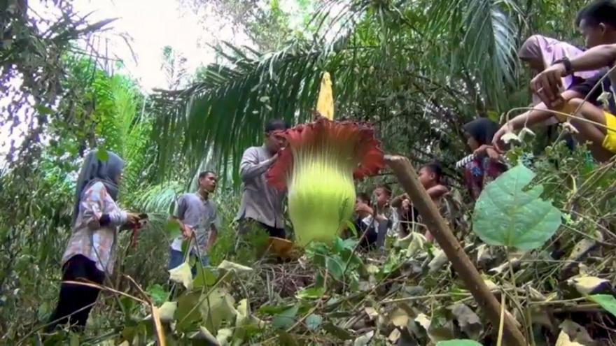 """Phallus de titan"" ou ""fleur de cadavre"" en Indonésie"