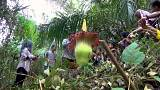 Giant 'corpse flower' blooms at Indonesia farm
