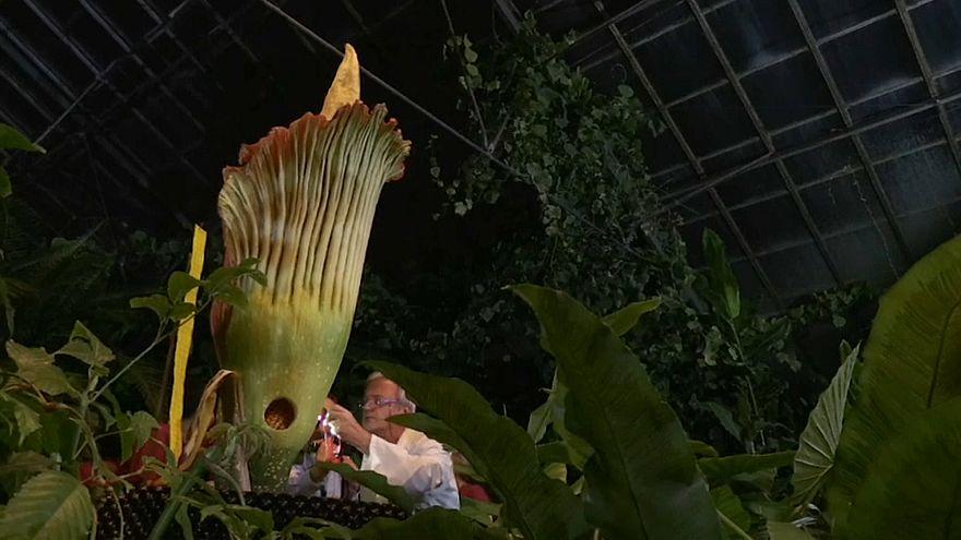 La flor cadáver en peligro de extinción