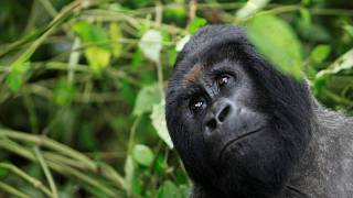 Victory for conservationists as rare Mountain gorilla population rises