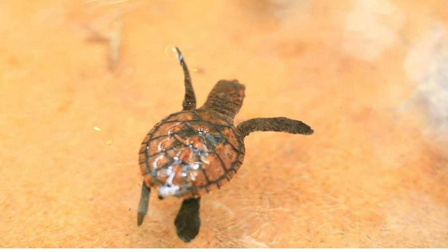 Rescuing baby turtles in Canberra