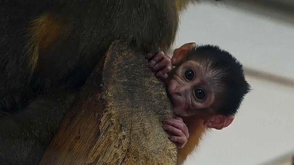 Seltenes Affenbaby in Budapester Zoo geboren