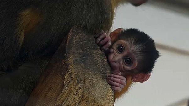 Ritka kismajom született a budapesti állatkertben