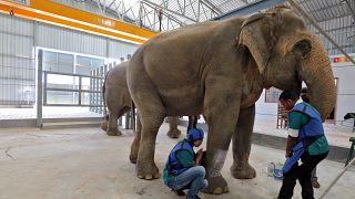 Video | Hindistan'ın ilk fil hastanesi açıldı