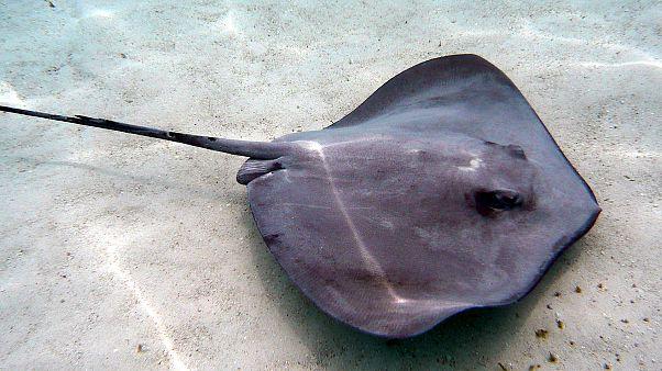 لسعة قاتلة من سمكة الرقيطة تودي بحياة رجل في أستراليا