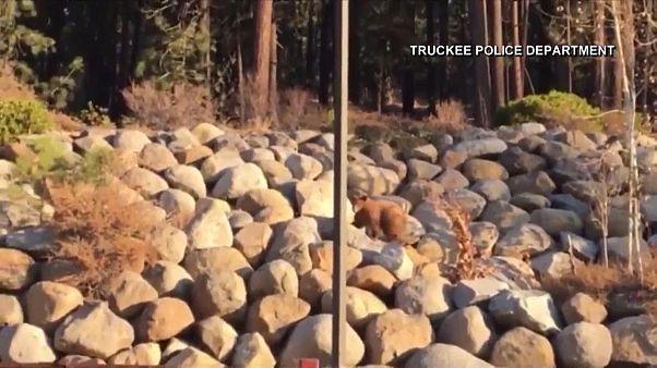 تلاش خرس مادر و یاری پلیس برای نجات توله خرس از سطل زباله
