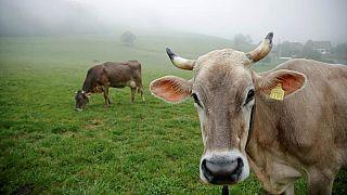 İsviçreli çiftçi Armin Capaul, ineklerin boynuzlarının kesilmesine karşı